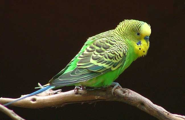 虎皮鹦鹉怎么分公母图片