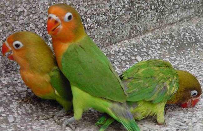 牡丹鹦鹉怎么分公母