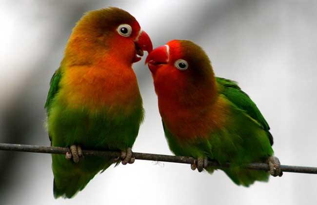 牡丹鹦鹉雌雄鉴别 1、头型:雄鸟头型为背儿头、头尖、并且头稍小。雌鸟头型为扁平、圆滑、头纯圆,与雄鸟比较头稍大。 2、体型:雄鸟体瘦、毛紧、好动、性凶,眼圈距头顶距离较远,眼显小。雌鸟体较胖、毛稍松,不太好动,眼圈距头顶距离较近,眼显大。 3、尾羽尖:雄鸟的尾羽尖较尖,为V型。雌的尾羽尖分叉则为W型。 4、泄殖腔:雄鸟的泄殖腔表现耻骨间间距小、并表现有兴状突起(即尖状物)。雌鸟的泄殖腔为两耻骨之间间距大,尤其成鸟一中指可以伸进,并且扁平,无突起状,此法鉴别特别准确,经验丰富者从小鸟即可无误的进行辨别雄雌