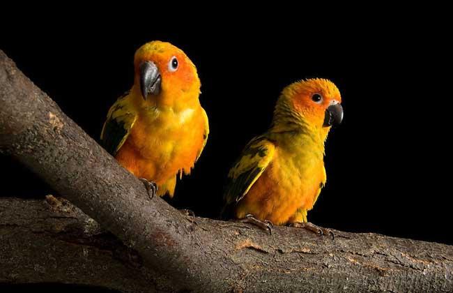 鹦鹉种类名称图片大全