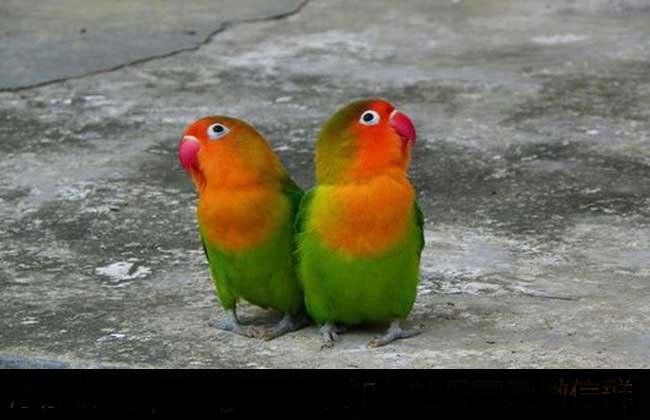 牡丹鹦鹉价格多少钱