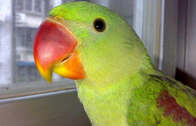 亚历山大鹦鹉价格多少钱