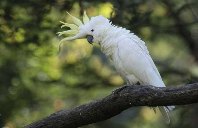 小葵花凤头鹦鹉图片