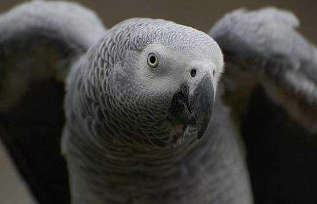 非洲灰鹦鹉多少钱一只