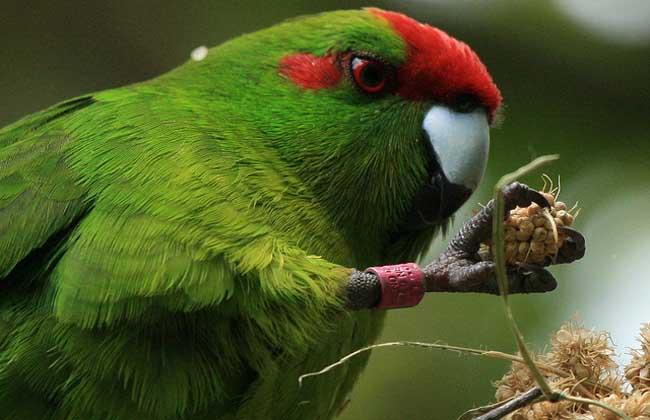 红额鹦鹉价格多少钱