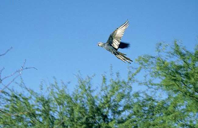 斯比克斯鹦鹉图片