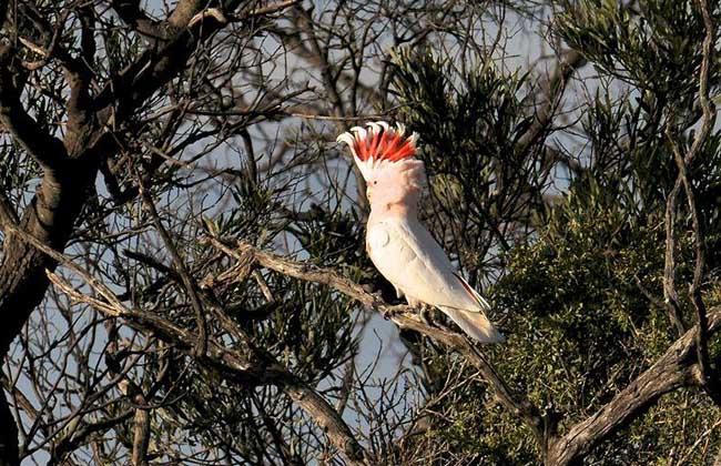 米切氏凤头鹦鹉图片