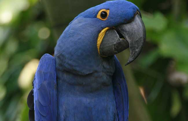 金刚鹦鹉是色彩最艳丽的大型鹦鹉