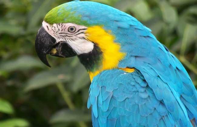 """金刚鹦鹉最吸引人的技能无疑当属能够效仿人言,虽然它们的鸣叫声虽然粗厉而嘈杂,十分刺耳,并不婉转动听,但在人工驯养下却能够很好地模仿人语和其他鸟类的鸣叫声,""""口技""""在鸟类中的确是十分超群的。当你走近一只经过训练的鹦鹉的身旁时,它会及时地说出""""您好!"""",当你喂给它食物以后,它也会道声""""谢谢!"""",除了人的语言还能够学会铜管乐中小号的鸣奏、火车的鸣笛声,模仿狗叫以及其他鸟类的鸣叫声等等。"""