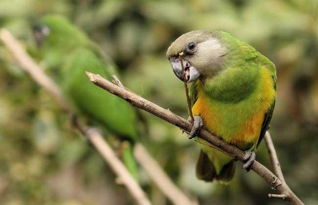 塞内加尔鹦鹉价格