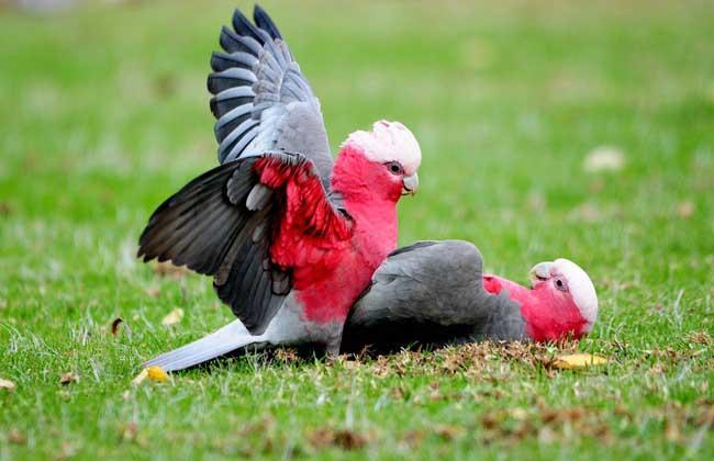 粉红凤头鹦鹉价格