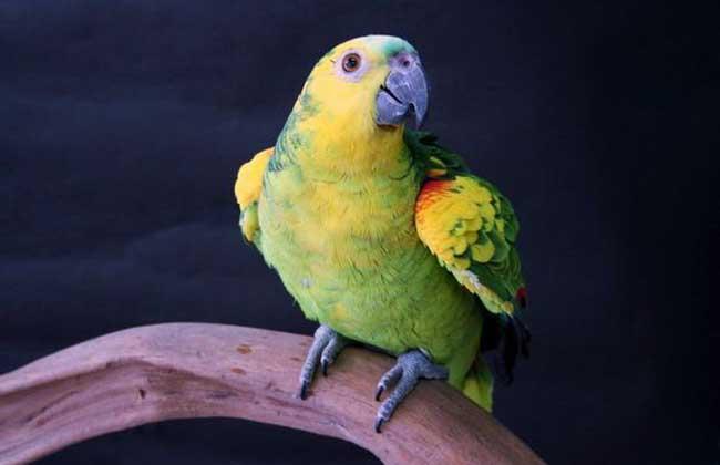 青绿顶亚马逊鹦鹉图片