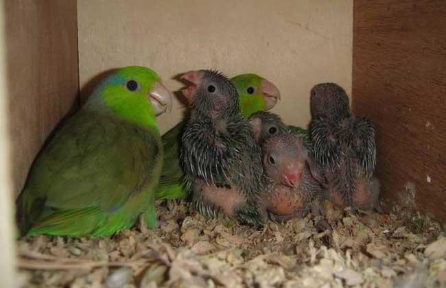 横斑鹦鹉价格多少钱