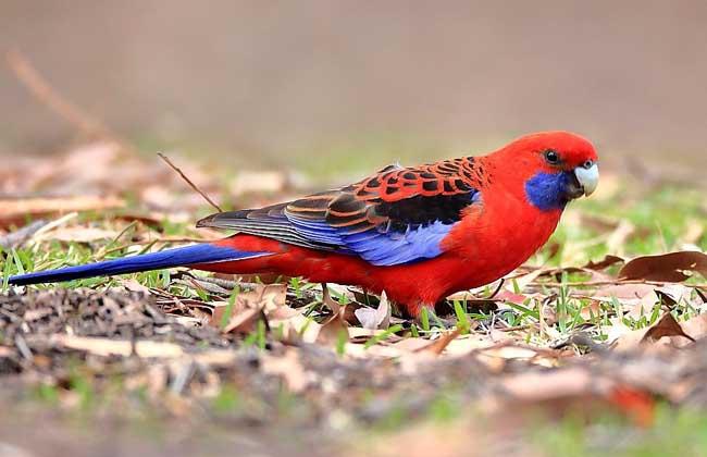 深红玫瑰鹦鹉怎么养?