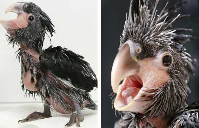 世界最丑鹦鹉无法直视