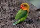牡丹鹦鹉会说话吗?