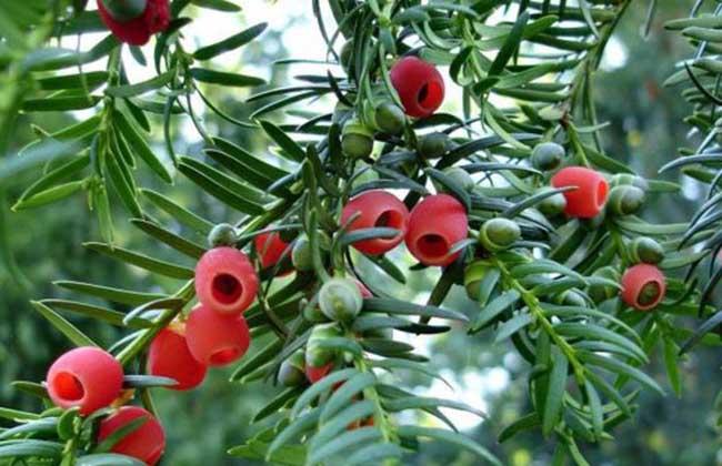 紅豆杉樹生長習性