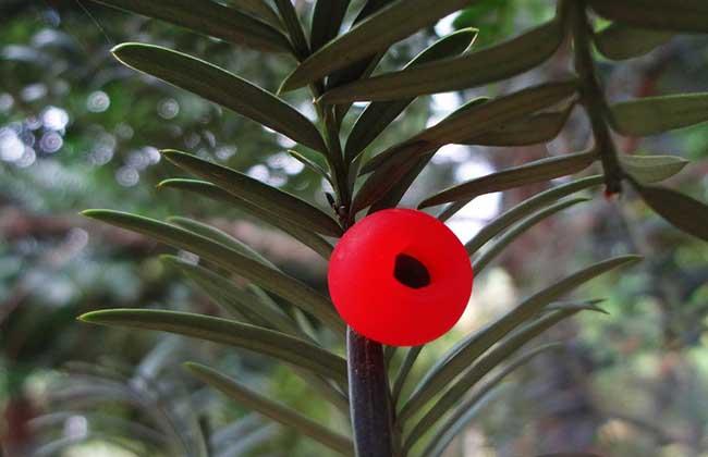 紅豆杉樹繁殖方法