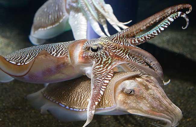 鱿鱼和乌贼的区别
