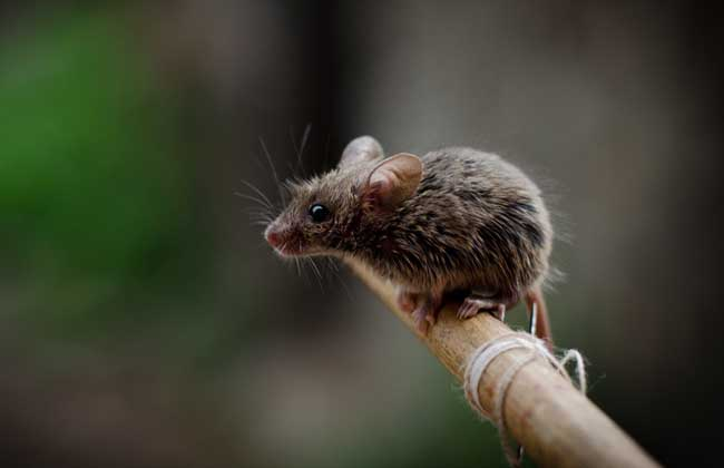 老鼠会咬人吗?