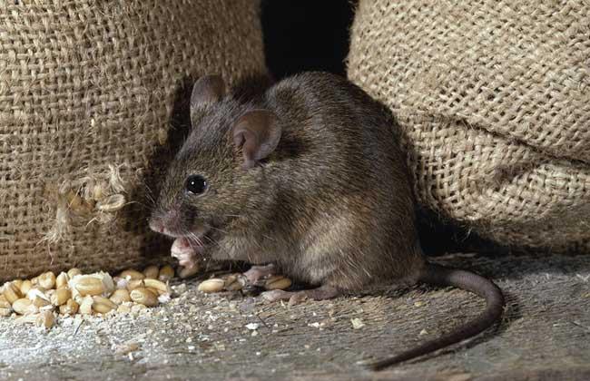被老鼠咬了怎么办?
