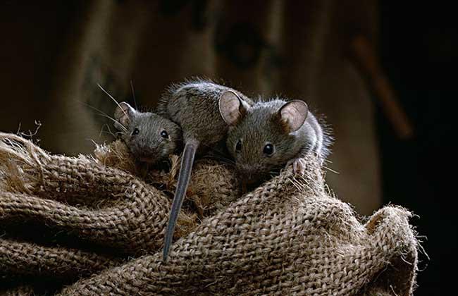 如何消灭老鼠?