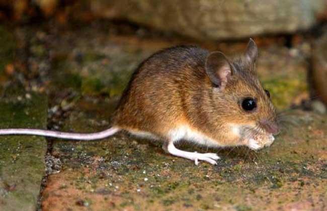 如何消灭老鼠