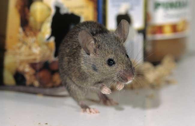 怎么赶走老鼠?