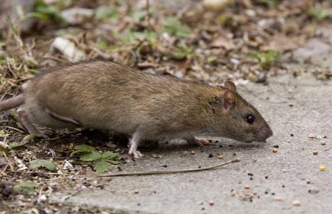 老鼠会游泳吗