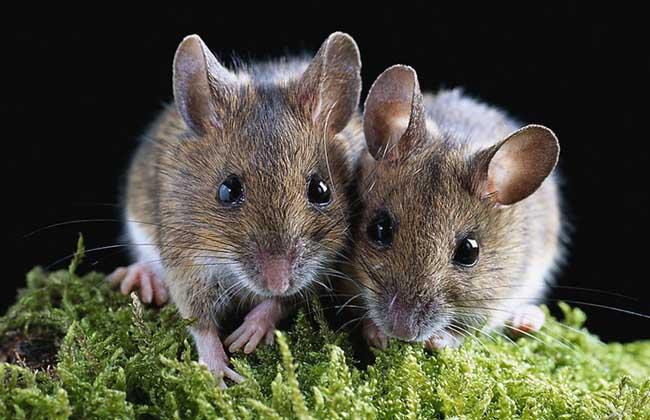 老鼠会咬人吗