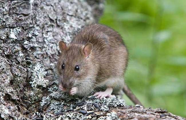 老鼠爱吃的食物