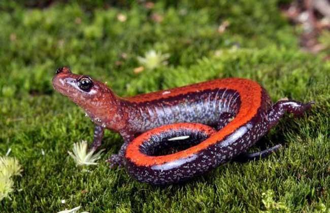 红背无肺螈