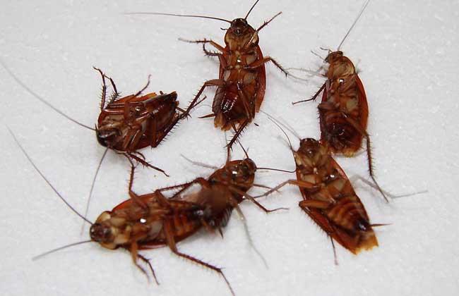 蟑螂会不会咬人?