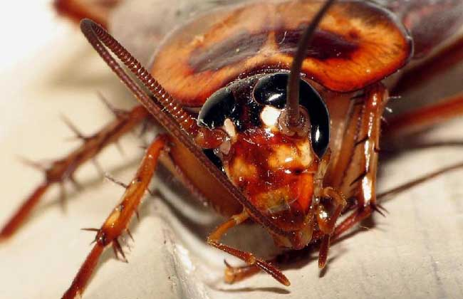 蟑螂最怕什么天敌