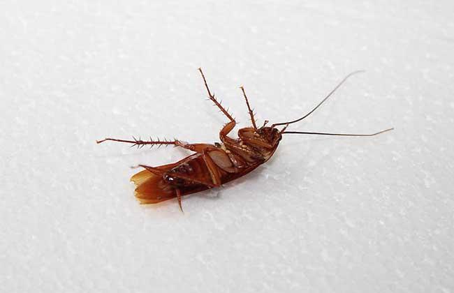 蟑螂怎么消灭最好