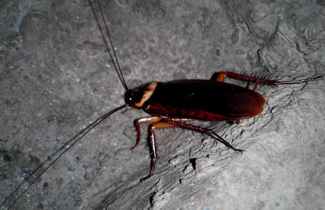 蟑螂的危害有哪些