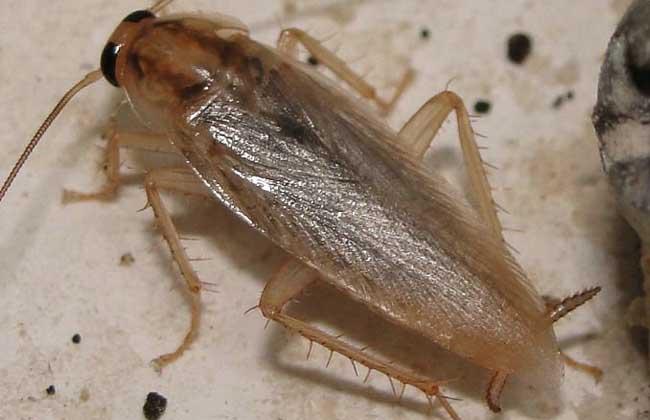 蟑螂种类图片大全