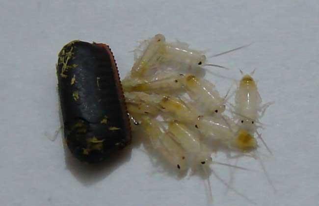 蟑螂吃什么食物?
