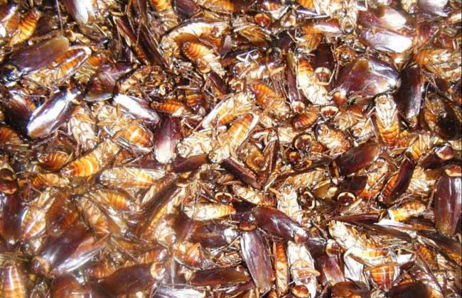 蟑螂的药用价值