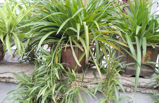 吊兰的养殖作用 1、美化居室:吊兰是最为传统的居室垂挂植物之一,叶片细长柔软,叶腋中抽生出小植株,由盆沿向下垂,舒展散垂,似花朵,四季常绿,夏季会开小白花,花蕊呈黄色,是用来美化居室的最好绿植品种之一。 2、清新空气:吊兰的清新空气功效是很显著的,能在微弱的光线下进行光合作用,吸收室内80%以上的有害气体,吸收甲醛的能力超强。一般房间养l~2盆吊兰,空气中有毒气体即可吸收殆尽,一盆吊兰在8~10平米的房间内,就相当于一个空气净化器,它可在24小时内,杀死房间里80%的有害物质,吸收掉86%的甲醛,能将火