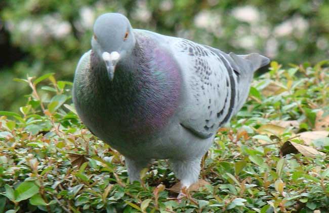 """鸽子 俗话说""""一鸽胜九鸡"""",鸽子营养价值较高,特别是冬天进食,对老年人、体虚病弱者、手术病人、孕妇及儿童很适合。鸽子又名白凤,着名的中成药乌鸡白凤丸,就是用乌骨鸡和白凤为原料制成的。近几年,乳鸽菜在各地流行,尤其在香港,已经有""""一鸽顶九鸡,无鸽不成席""""的说法。 天麻炖乳鸽、木瓜银耳炖乳鸽,天麻、银耳等本来就是极好的食补药材,与鸽肉一起两相结合,滋补效果更甚。此外,如鸽肾煲仔饭,小指头大小的鸽肾经过蒸、煮后,配上汤汁调料,吃过的人才晓得味道有多爽,细嫩的鸽蛋"""