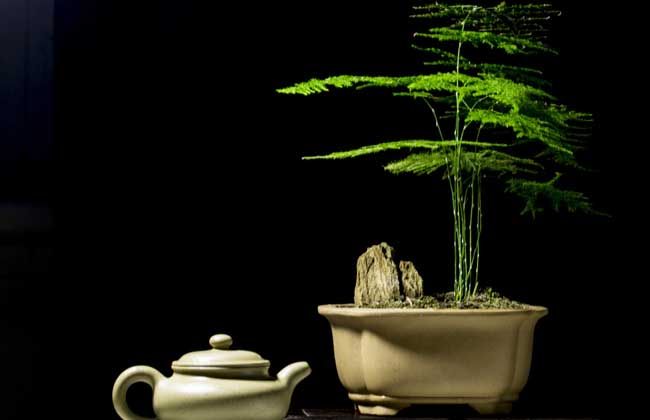 文竹盆景制作方法 1、材料先择:高20厘米左右文竹一棵,选10厘米余高的文竹二棵,不规则形汉白玉浅盆和其配套的几架,高10厘米左右的山石若干,适量培养土和青苔。 2、盆景造形:把汉白玉浅盆面铺一薄层培养土,把最高的一棵文竹、弯曲的枝叶向左植盆的右端,把第二高度文竹栽植第一株文竹左侧不远适当靠盆后沿的位置上,然后把最矮一棵文竹栽植盆长1/3与2/3交界处,文竹弯曲的枝叶也要向左,以达到三棵文竹朝向的协调统一。然后调整文竹在盆中的位置,达到自然优美为止。 3、点石铺苔:在盆面适当靠右后的位置上摆放山石若干,