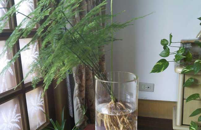 文竹水培养殖方法 1、选取生长健壮、发育良好的文竹作为水培的母本材料,将文竹连土从花盆中取出,小心洗去其根部泥土,去掉烂根,剪去部分老根。用清水清洗干净叶片及植株,避免弄伤植株。文竹生根较慢,所以,注意取文竹时要小心,不要伤及文竹的根部。 2、将清洗好的植株用定植篮固定,固定时要让其根部充分舒展,再将植株连同定植篮一起放到1‰的多菌灵溶液浸泡根部30分钟,放阴凉处,待根系变软后就可进行下一步操作了。 3、往营养液池中装入文竹专用营养液,将上面处理好的植株定植于漂浮板上(注意保持部份根系暴露