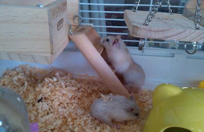 银狐仓鼠怎么养_仓鼠的寿命多长_仓鼠吃什么食物 - 黔