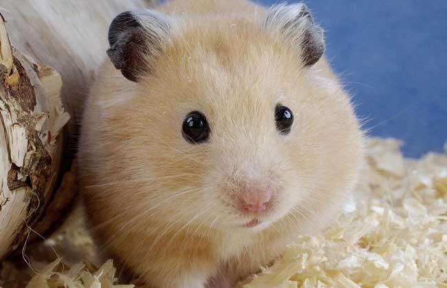 银狐仓鼠怎么养_仓鼠的寿命多长_仓鼠吃什么食物 - 黔图片
