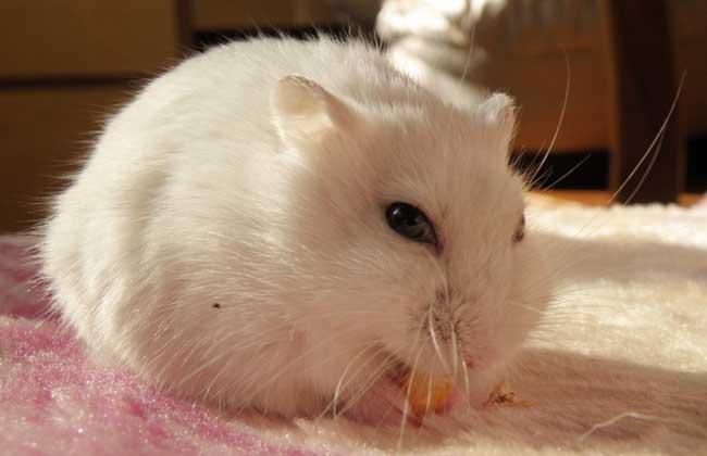 银狐仓鼠怎么养