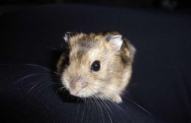 三线仓鼠寿命多长?