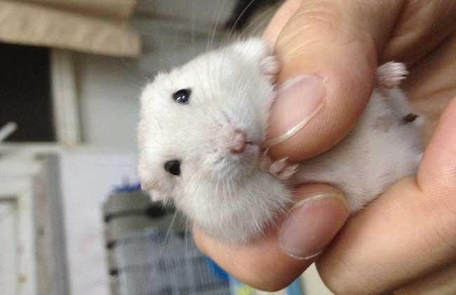 奶茶仓鼠多少钱