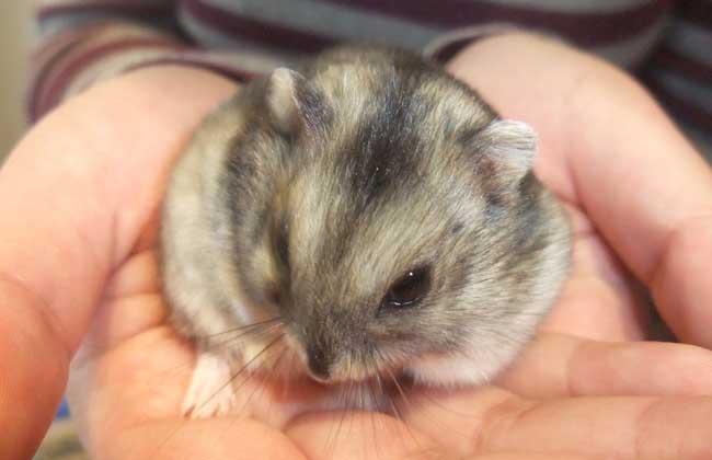 世界上最可爱的苍鼠