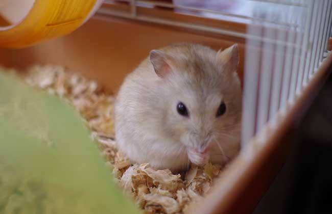 仓鼠怎么养最好?